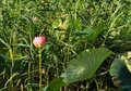 The blooming of pink lotus in Astrakhan region, river, summer. Russia wild nature