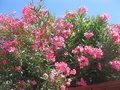 Blooming pink oleander bush by a fence Stock Image