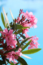 Blooming pink oleander near swimming pool Stock Image