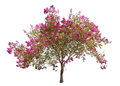 Blooming pink tree isolated on white Royalty Free Stock Photo