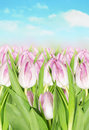 Blooming pink tulips background of spring sky against flowers Royalty Free Stock Image