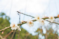 Blooming plum blossom flowers in a garden Royalty Free Stock Image