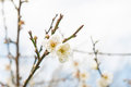 Blooming plum blossom flowers in a garden Stock Images