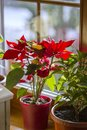 Blooming Poinsettia on window, Christmas Star beautiful red flower Royalty Free Stock Photo