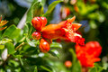 Blooming pomegranate tree. Flora of Israel