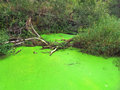 Blooming pond acid green in a swamped area Stock Images