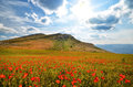 Blooming poppies field with in the mountains natural composition Stock Image