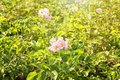 Blooming potato bushes in field Royalty Free Stock Photo