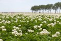 Blooming potato field in the Netherlands Royalty Free Stock Photo