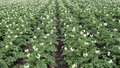 Blooming potato field rows of potatoes in spring Royalty Free Stock Photos