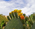 Blooming Prickly Pear cactus Royalty Free Stock Images