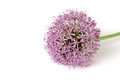 Blooming Purple Allium, onion flower isolated on a white Royalty Free Stock Photo