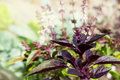 Blooming purple basil is illuminated by the sun. Royalty Free Stock Photo