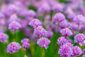 Blooming purple bulb onion in the spring time in the garden Royalty Free Stock Photo