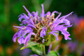 Blooming Purple Lavender Horsemint Flower, Bee Balm, Oswego Tea, Royalty Free Stock Photo