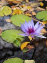 Blooming Purple water lily in Central Park