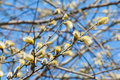 Blooming pussy willow buds close up against blue spring sky Stock Image
