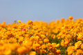 Blooming ranunculuses field of beautiful at spring Royalty Free Stock Images