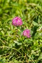 blooming red clover Trifolium pratense and green grass close-up. Pink clover flowers in spring, shallow depth of field. Royalty Free Stock Photo