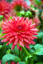 Blooming red dahlia Stock Photography