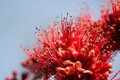 Blooming red flowers beautiful in the blue sky Royalty Free Stock Photography