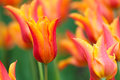 Blooming red and orange tulips in spring after a refreshing rain shower Stock Photos