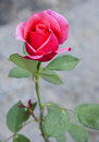 Blooming red rose in the field Stock Photography