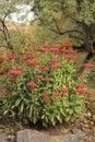 Blooming red Sedum Autumn Joy in the garden Royalty Free Stock Photo