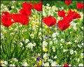 Blooming red tulips beautiful spring collage with in a field of pansies Royalty Free Stock Photos