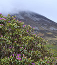 Blooming rhododendron bush on errigal mountain background Royalty Free Stock Images