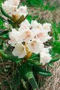 Blooming rhododendron caucasian is on subalpine meadow Royalty Free Stock Photography