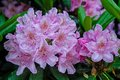 Blooming rhododendron close up view to pink haaga Stock Image