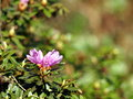 Blooming Rhododendron impeditum Royalty Free Stock Photo