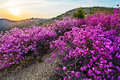 The blooming rhododendron sun setting Royalty Free Stock Photo