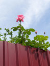 Blooming rose behind metal fence Royalty Free Stock Photo