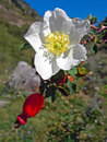 Blooming rose hips on a background of blue sky Royalty Free Stock Images