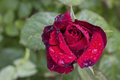 Blooming rose with water droplets a closeup shot of crimson red flower on a green leaves background purple flowering in garden Royalty Free Stock Photography