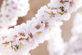 Blooming sacura or cherry tree Stock Image
