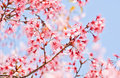 Blooming sakura flower Royalty Free Stock Image