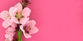 Blooming sakura, spring flowers on pink background with space Royalty Free Stock Photo