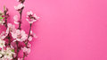 Blooming sakura, spring flowers on pink background Royalty Free Stock Photo