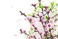 Blooming sakura, spring flowers on white background with space Royalty Free Stock Photo