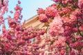 Blooming sakura in warm spring day