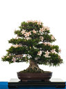 Blooming Satsuki-Azalea as bonsai tree Royalty Free Stock Image