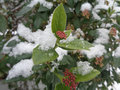 Hazelnut shrub in a snow covered winter forest