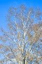 Blooming silver poplar. Silver poplar tree in spring. Poplar Royalty Free Stock Photo