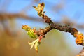 Blooming of small young green leaves on apple tree branch. Spring is coming Royalty Free Stock Photo