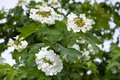 Blooming snowball tree viburnum opulus in the garden Stock Image