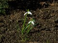 Blooming snowdrops, Galanthus nivalis, at flowerbed, early spring closeup, selective focus, shallow DOF Royalty Free Stock Photo