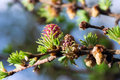 Blooming spring branch of a larch closeup Royalty Free Stock Photo